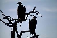 Africa, South Africa, Kruger park, sunset and vultures