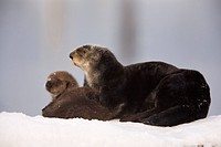 Female Sea Otter hauled out on a snow mound with newborn pup, Prince William Sound, Alaska, Southcentral, Winter
