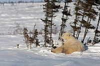 Twin Polar Bear Ursus maritimus cubs snuggle with their mother in the snow, Wapusk National Park, Manitoba, Canada, Winter