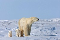 A Polar Bear sow Ursus maritimus and her young twin cubs walk across the wind swept snow in Wapusk National Park, Manitoba, Canada, Winter