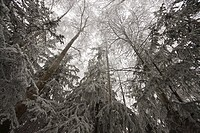 Hoar frost on Birch and evergreen trees at Russian Jack Park golf course in Anchorage, Southcentral Alaska, Winter