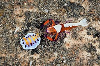 Emperor Shrimp with Nudibranch, Periclimenes imperator, Chromodoris sp., Lembeh Strait, North Sulawesi, Indonesia