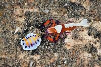 Emperor Shrimp with Nudibranch, Periclimenes imperator, Chromodoris sp., Lembeh Strait, North Sulawesi, Indonesia