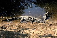 Mugger Crocodile or Marsh Crocodile (Crocodylus palustris)