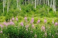Fireweed Epilobium angustifoloium