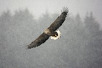 White_tailed Eagle Haliaeetus albicilla adult, in flight, during snowstorm, Hokkaido, Japan, winter