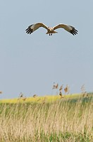 Western Marsh Harrier Circus aeruginosus adult male, in flight, over reedbed habitat, North Kent Marshes, Kent, England, may