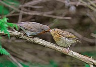 European Robin Erithacus rubecula adult feeding juvenile, perched on branch, West Sussex, England, may