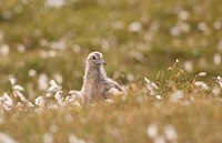 Great Skua Stercorarius skua chick, amongst cotton_grass on open moorland, Shetland Islands, Scotland, july