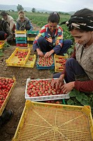 Strawberry Fragaria sp crop, women farm workers picking and sorting fruit, Bulgaria, may