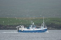 Fishing trawler at sea, followed by Northern Gannet Morus bassanus flock, Yell, Shetland Islands, Scotland, august