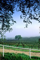 Morning fog over vineyard along Union Road, Paso Robles San Luis Obispo County, California