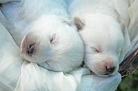 Brazil, Rio Grande do Sul, Novo Hamburgo, sleeping two Labrador retriever puppies