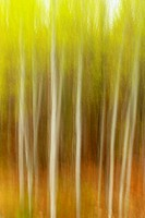 White birch grove Camera movement