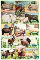 Sheeps and goats  Antique illustration  1920