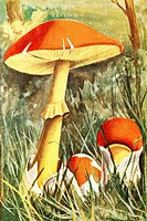 Caesar´s mushroom  Amanita cesarea  Antique illustration  1900