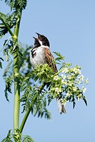 Reed bunting Emberiza schoeniclus, male perched on flowering hemlock, singing, Germany