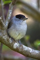 A Blackcap, Sylvia atricapilla, sitting in a garden tree.