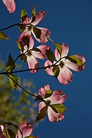 Dogwood tree Cornus florida blooms in spring.