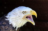 Screaming Bald Eagle Haliaeetus leucocephalus