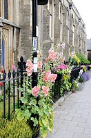 self sown hollyhocks by town centre path, bury st edmunds, suffolk, uk, july, no pr
