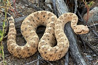 Sidewinder Crotalus cerates - Sonoran desert - Arizona - Small rattlesnake named for its peculiar sideways locomotion.