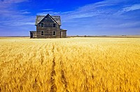 Abandoned farmhouse in wind_blown durum wheat field, near Assiniboia, Saskatchewan, Canada