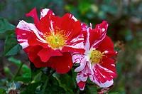 Rose Rosa ´Arabesque´ in flower.