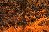 Fall oak leaves and frosted grasses lit by a morning sun, Oakfield, Nova Scotia