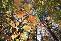 Maples in fall color, Algonquin Provincial Park, Canada