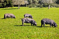 Pigs grazing in meadow
