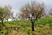 Sheep grazing in Cherry orchard