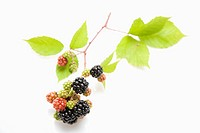 Branch of blackberries (thumbnail)