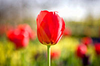 A red tulip in a garden