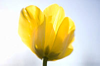A yellow tulip in full bloom, close up