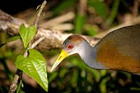 A Grey-necked Wood-rail walks along the banks of the Tzendales River in the Montes Azules Biosphere Reserve in Chiapas