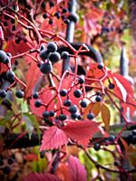 bacche di un´edera in autunno
