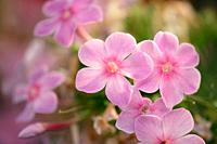 Pink phlox flowers  Scientific name: Phlox paniculata