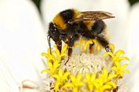 Bumblebee feeding on a zinnia flower  Scientific name: Bombus hortorum  Central Russia