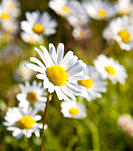 Daisy in Selective Focus