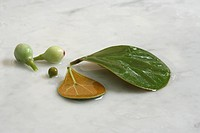 Mas cotek Ficus deltoidea, also known as a mistletoe fig tree, of the Moraceae family, found in the Malaysian rainforest. It is used to help with memo...