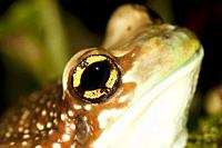 HEAD AND EYE CLOSE-UP OF AMAZON MILK FROG phrynohyas resinifictrix