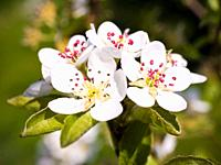 Wild cherry tree prunus avium blossom spring UK