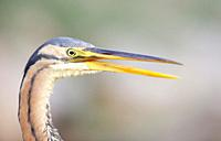 Detail of head of Purple heron, Majorca, Spain