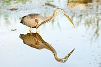 Purple Heron reflected on water, Majorca, Spain
