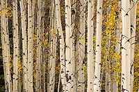 Grove of Colorado aspen trees with leaves displaying the golden yellow color of fall