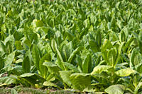 Tobacco is a cash crop that yields higher return for farmers than rice However the health risks associated with tobacco has hidden costs Manikganj Ban...