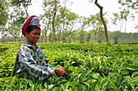 A woman plucks leaves in a tea garden where they have to work under ´no work, no payment´ rule Tea is a major industry in Bangladesh and grows in the ...
