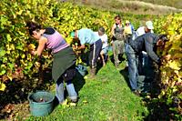 Marcillac wine, Aveyron, Midi-Pyrénées, France  The harvesting of wine grapes, red wine is predominant product of Marcillac, although rosé is also all...