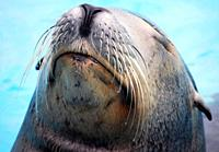 Sea Lion (Otaria flavescens)